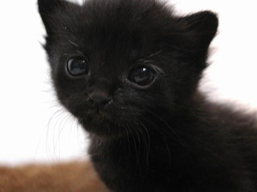 gattino-nero