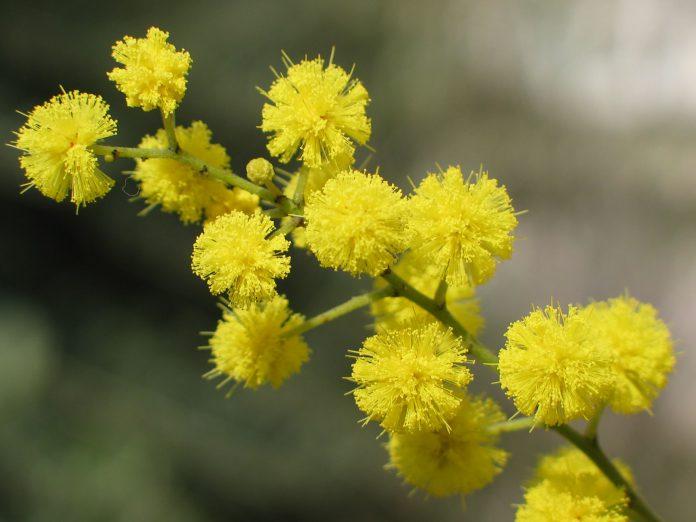 Mimosa_8_marzo