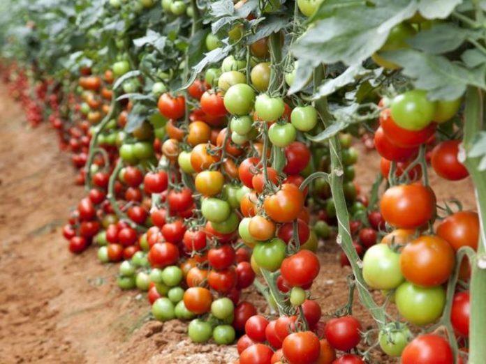 come-coltivare-il-pomodoro-in-inverno_NG8