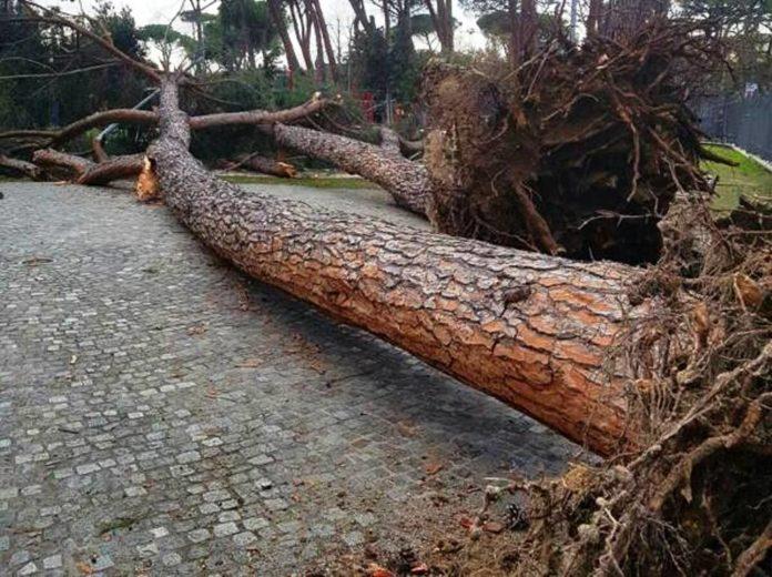 albero caduto 23